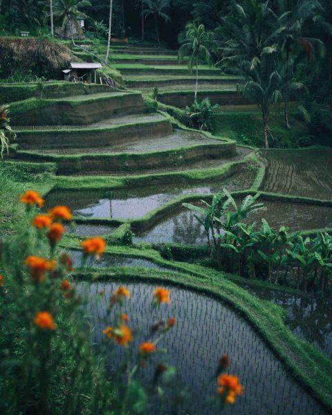bali pirinç tarlaları